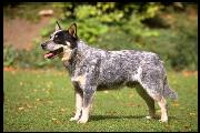 Australian Cattle Dog - Cainele de Cireada Australian